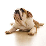 english bulldog lying on floor. poster