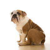 english bulldog  portrait. poster