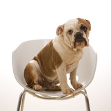 english bulldog  portrait sitting in chair. poster