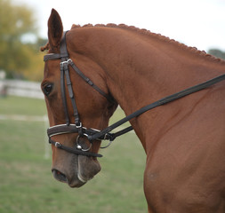 chestnut dressage horse