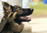 german shephard profile