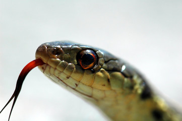 closeup of a snake's head and tongue