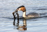 great crested grebe poster