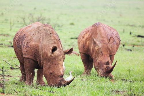 poster of mud encrusted rhinoceros eating green grass on a r