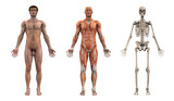 anatomical overlays - adult male - front view poster