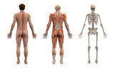 anatomical overlays - adult male - back view poster