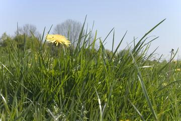 pissenlit et herbe