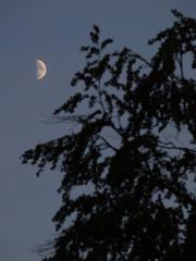 half moon with tree silhouette portrait
