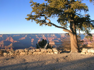 gnarled tree and grand canyon