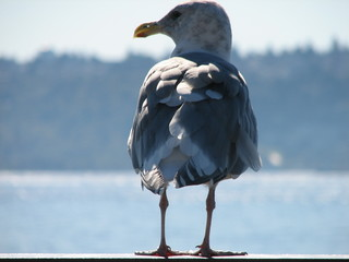 seattle gull