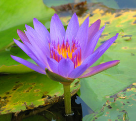 blue lotus in a pond