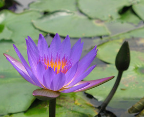 blue lotus flower in a pond