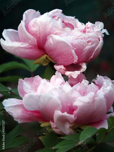 Fototapeta peonie rosa