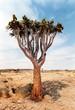 Leinwanddruck Bild köcherbaum