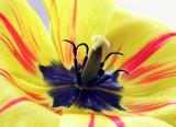 black pollen of yellow tulip poster