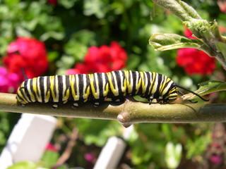 oruga de la mariposa monarca
