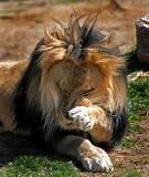 male lion rubbing face poster