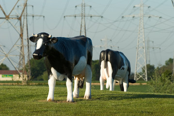vaches artificielles
