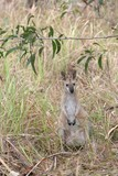 wallaby in the bush poster