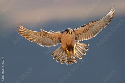 Poster lanner falcon landing