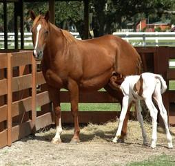 horse feeding her baby