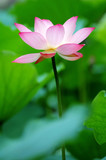single lotus flower between the greed lotus pads