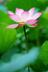 single lotus flower between the greed lotus pads
