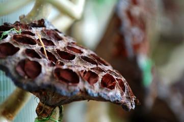 dried lotus seed head