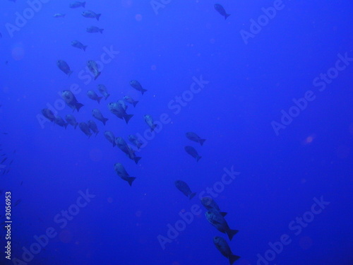 Banc petits poissons mer rouge from foxytoul royalty free for Petit poisson rouge