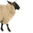 mouton suffolk
