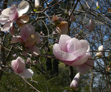 magnolia branch and flowers