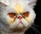 angry persian cat poster