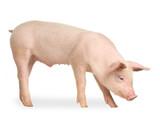 Fototapety cochon