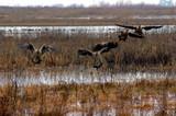 canadian geese landing poster