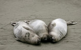 elephant seal pups poster