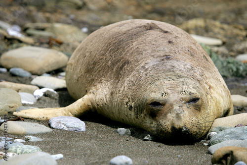 poster of female elephant seal