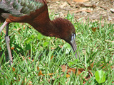 glossy ibis closeup poster