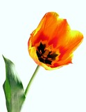 blazing-orange blazing-colour of tulip poster