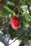 raspberry on a bush poster