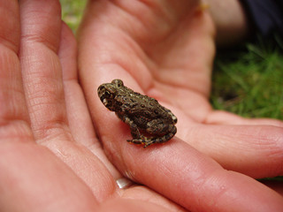speckled frog in hands