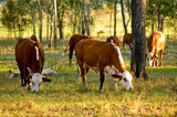 cattle grazing poster