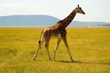 giraffe in kenya africa