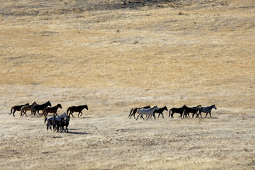 wild horses running across the praire