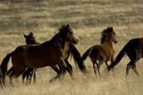 wild horses about to run