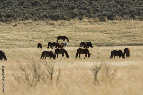 wild horses grazing in the grass lands