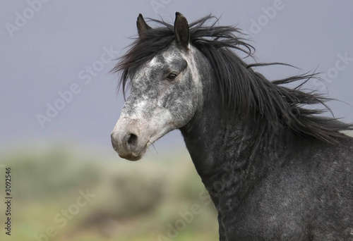 headshot of a beautiful grey wild horse