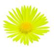 doronicum magnificum flower - lepard's bane flower