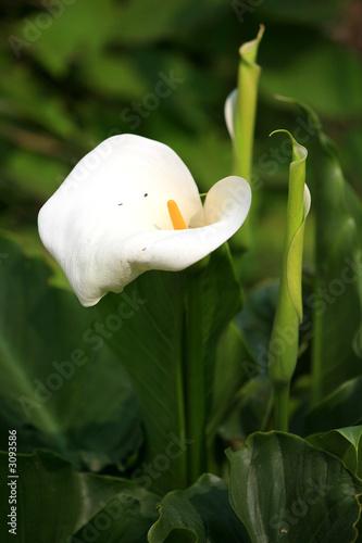 grosse fleur blanche photo libre de droits sur la banque d 39 images image 3093586. Black Bedroom Furniture Sets. Home Design Ideas