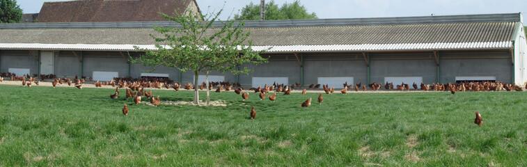 élevage de poules en liberté