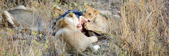 a table avec les lionnes